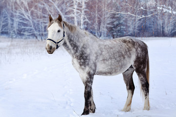 gray horse against the background of winter forest