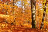 Buchenwald im Herbst - beech forest in fall 33
