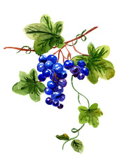 Watercolor  bunch of grapes on a white background