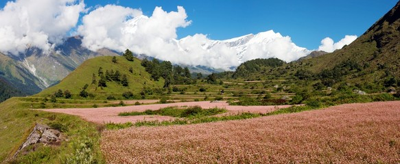 dhaulagiri himal with buckwheat field