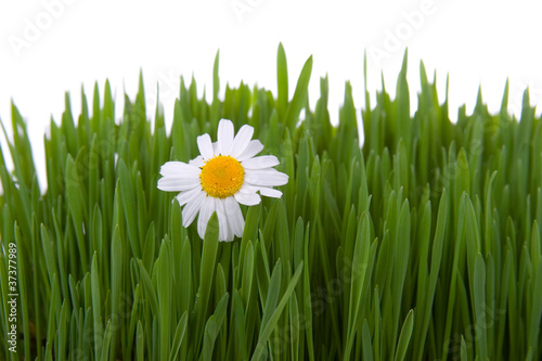 Chamomile and green grass