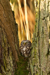 Little Owl in the autumn forest