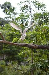 メンフクロウの飛翔