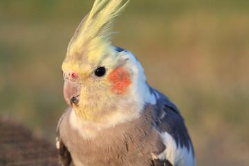 Cockatiel. Love bird close up