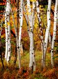 Fototapety Fall Birch Trees