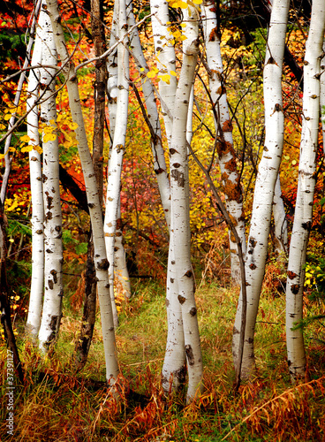 Deurstickers Berkbosje Fall Birch Trees
