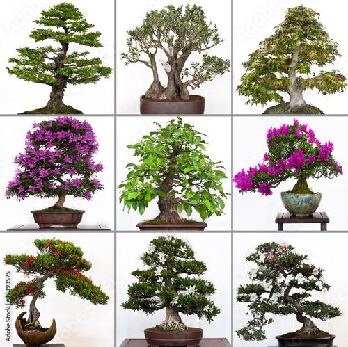 kollektion bonsai b ume von schwoab lizenzfreies foto. Black Bedroom Furniture Sets. Home Design Ideas