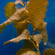 Kelp Underwater on Catalina Island