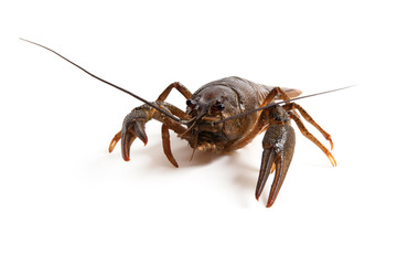Crawfish on white background