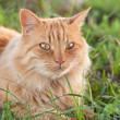 Chat roux tigré (femelle)