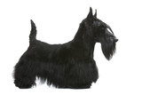 scottish terrier on profile