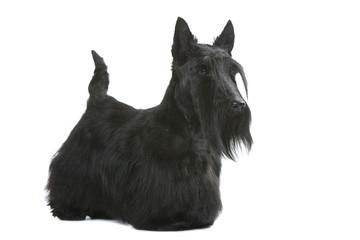 allure digne du scottish terrier de trois quart