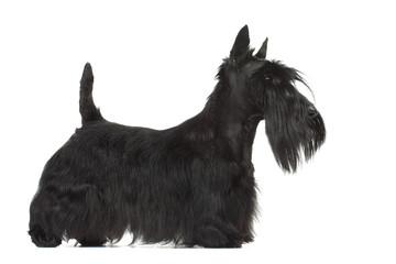 joli profil de la silhouette du scottish terrier