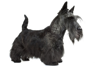 scottish terrier plein d'assurance