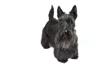 terrier écossais - scottish terrier- scottie