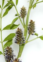 Suessholz, Glycyrrhiza glabra
