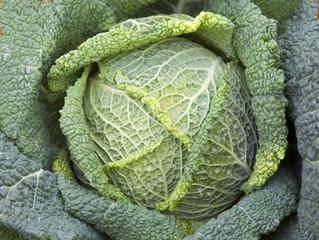 Wirsing, Brassica oleracea var sabauda