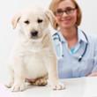 Female veterinary and beautiful labrador puppy