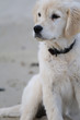 Chiot golden retriever assis sur le sable