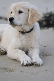 chiot golden retriever couché sur le sable