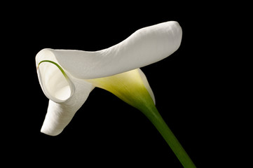 Beautiful White Calla Lily (Zantedeschia) on Black Background