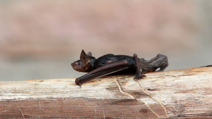Wet Fruit Bat Crawls along log