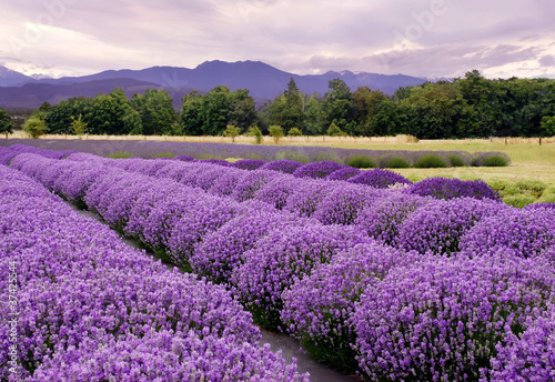 Lavendel-Bauernhof in Sequim, Washington, USA