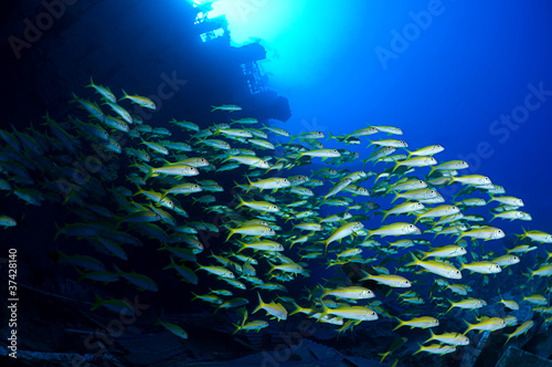 School of goatfish at wreck of Salem Express