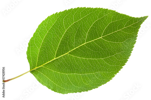Green leaf - 37428956