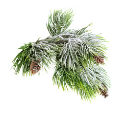 Christmas evergreen spruce tree
