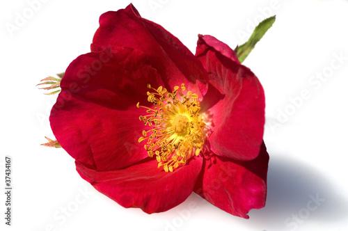 Essigrose, Rosa gallica