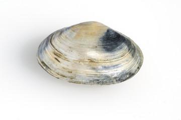 Sandklaffmuschel, Mya arenaria