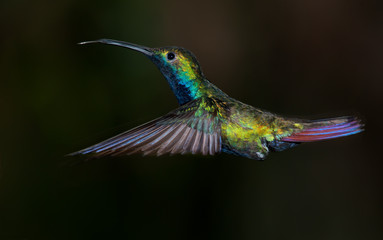 Black-throated Mango hummingbird, Anthracothorax nigricollis.