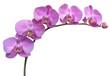 Fototapeten,blume,orchid,hintergrund,vektor