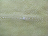 light-green stingray skin texture