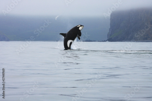 killer whale making high jump in the wild, Kamchatka, Russia
