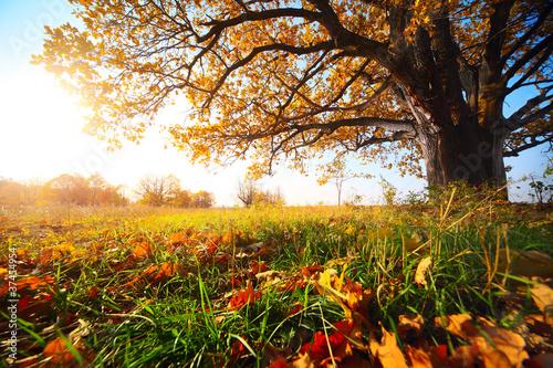 Fototapety, obrazy : Oak