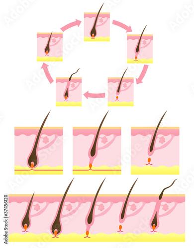 毛 ヘアサイクル 毛周期