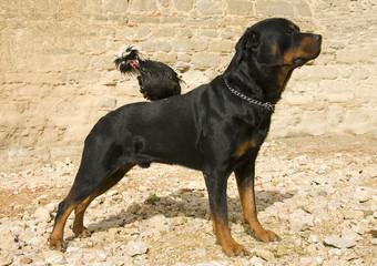 rottweiler et coq nain