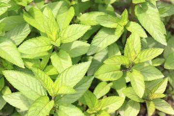 Mint plant lat. Mentha aquatica