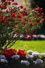 Beautiful roses in italy 2