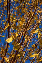 Yello leafs in Rome