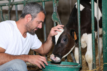 Farmer feeding and stroking calf