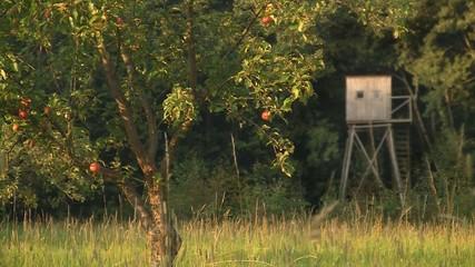 Apfelbaum auf Streuobstwiese vor Hochstand