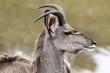 Kudu Antelope Profile