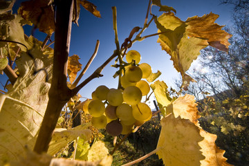 Golden berries and leaves in the vineyard