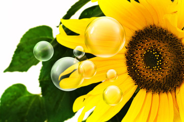 bubbles and sunflower
