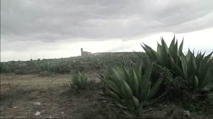landscape of the plantation of tequila agaves in mexico.