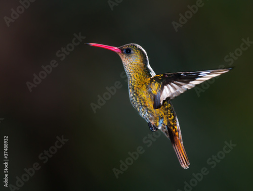 Gilded Hummingbird, (Hylocharis chrysura).