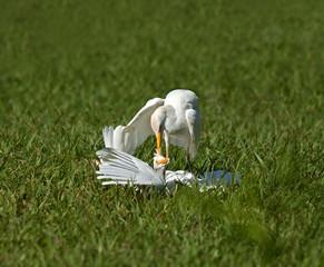 Cattle Egret Attack